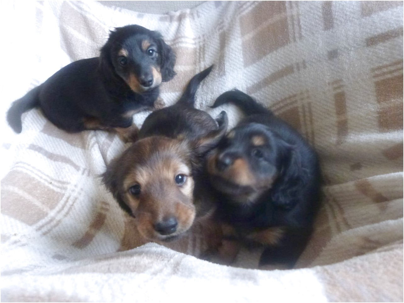 long haired mini dachshund puppies for sale near me