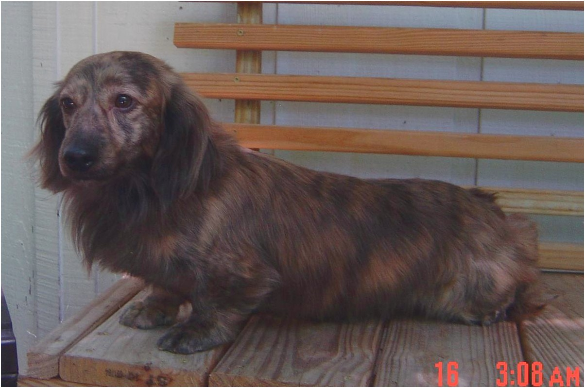 long haired miniature dachshund for sale near me