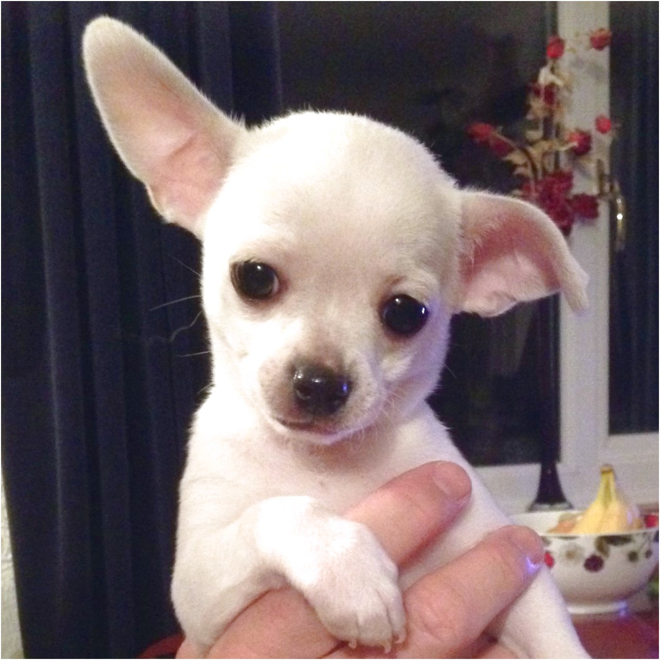 long haired teacup chihuahua for adoption