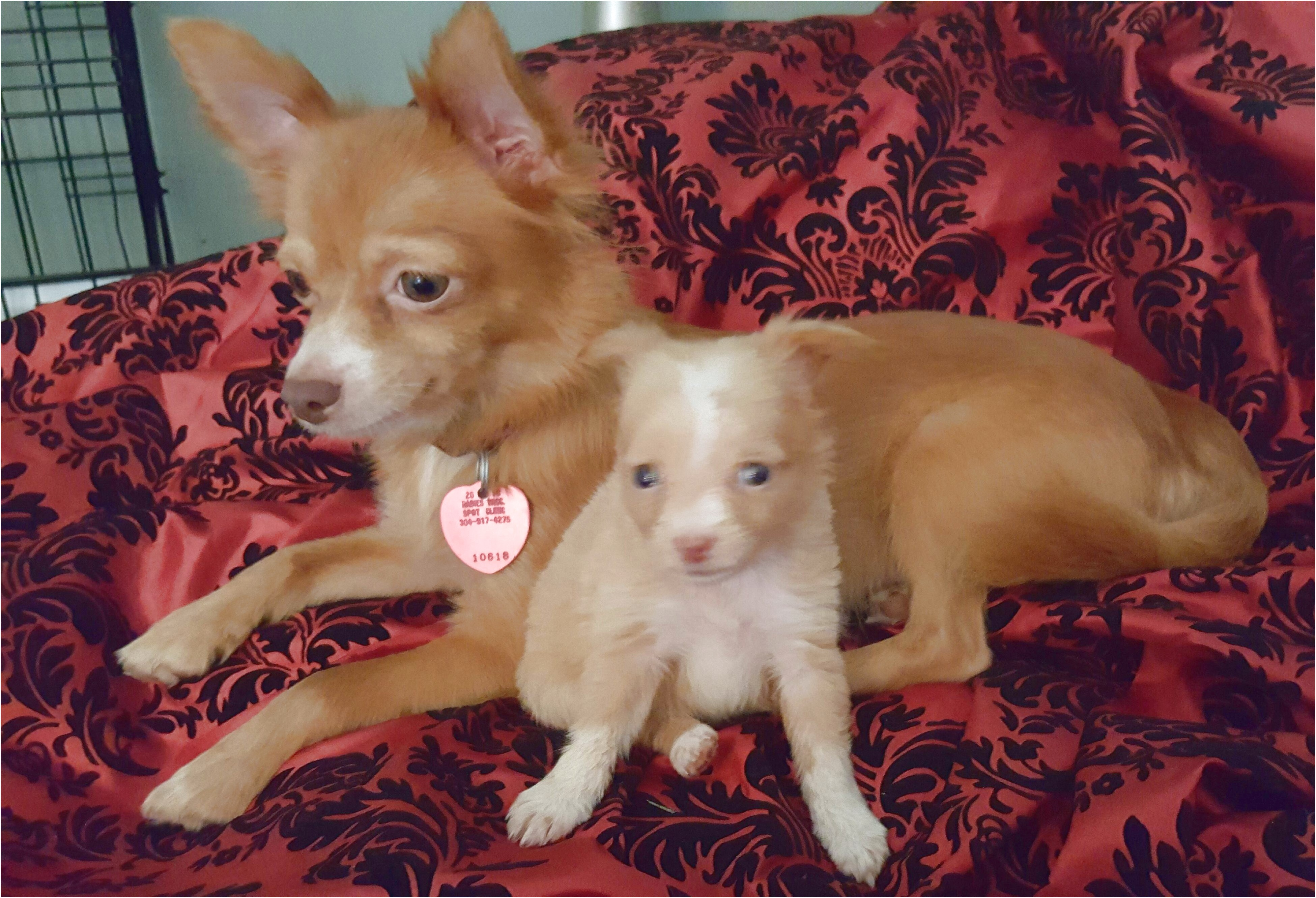 long haired teacup chihuahua puppies for sale in nc