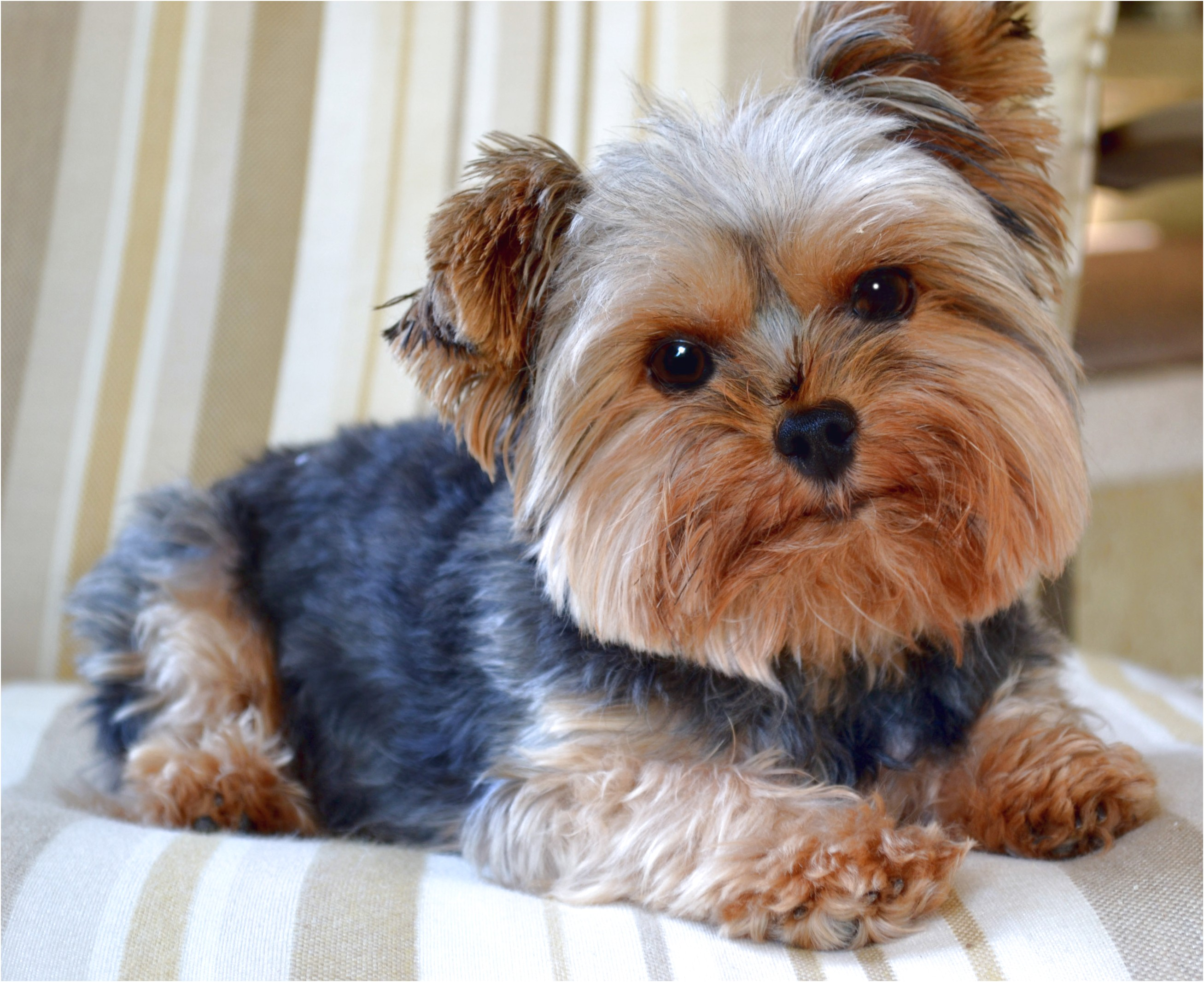 looking for yorkshire terrier puppies