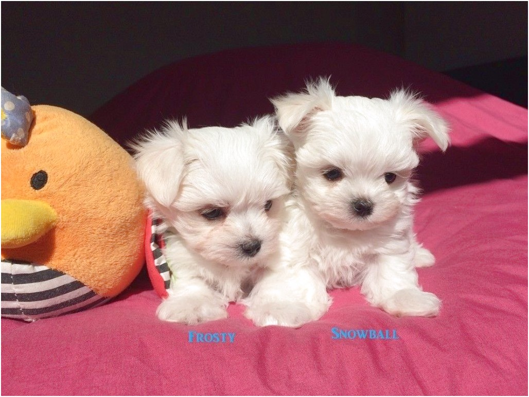 maltese dogs for sale aberdeen