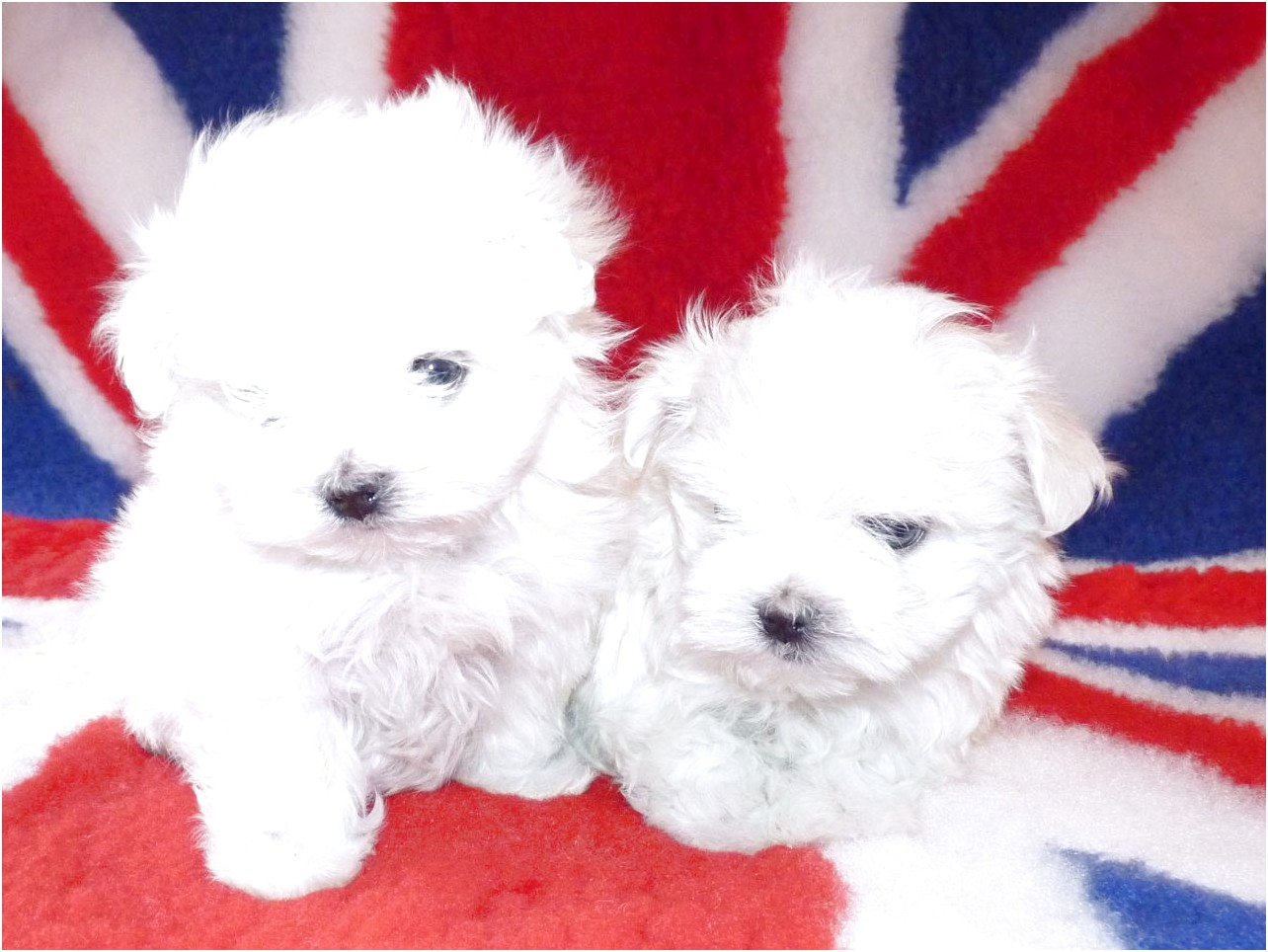 maltese dogs for sale arkansas