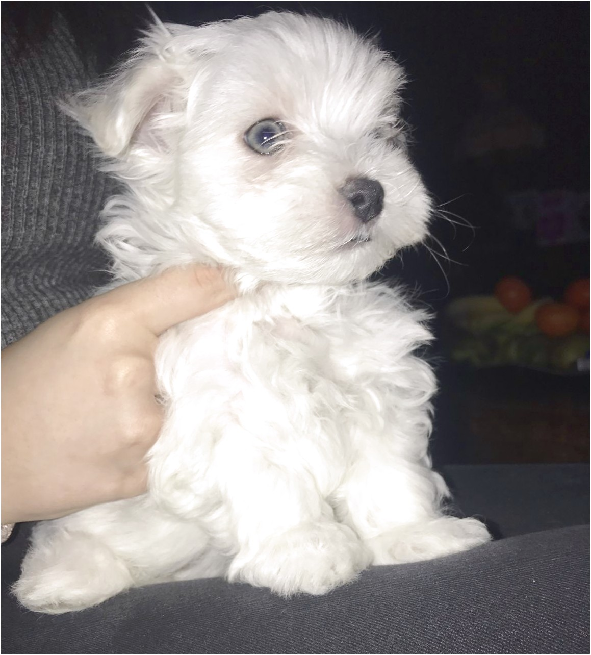 maltese dogs for sale auckland