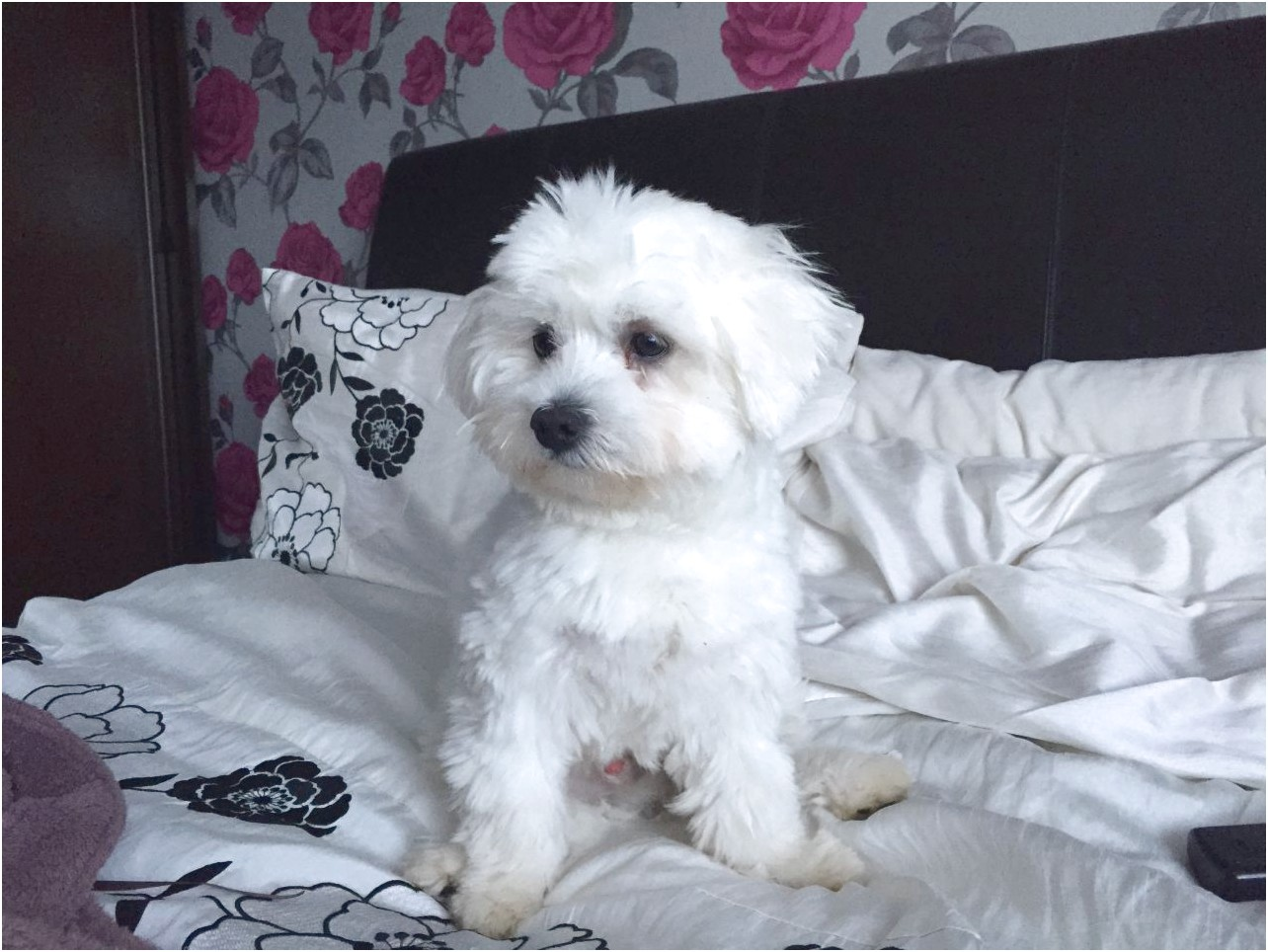 maltese dogs for sale hampshire