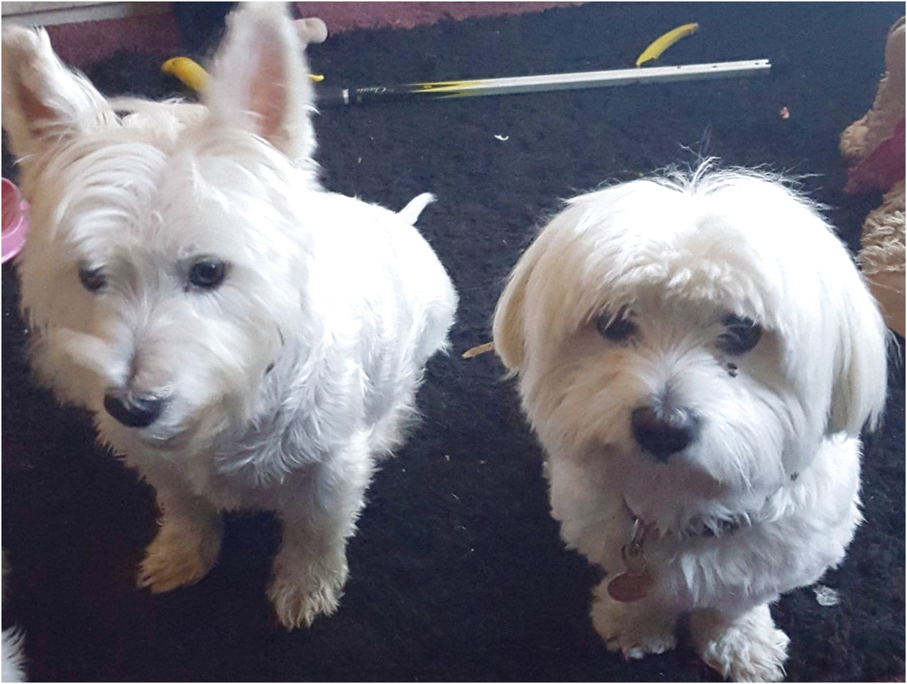 maltese dogs for sale hull