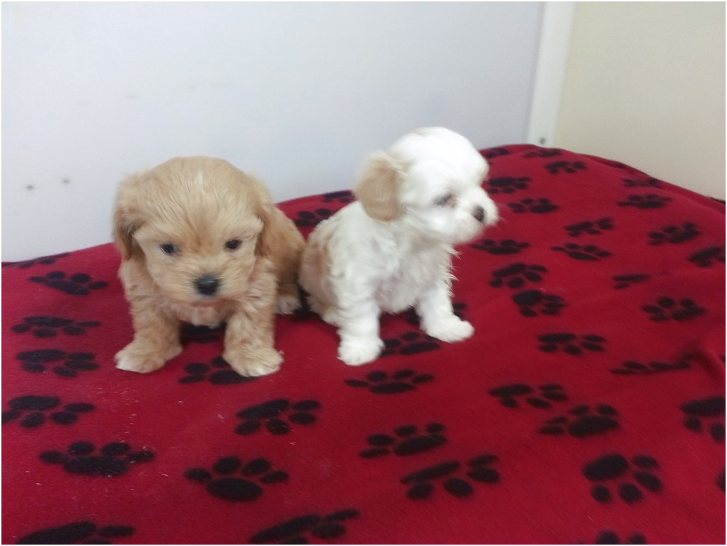 maltese dogs for sale in texas