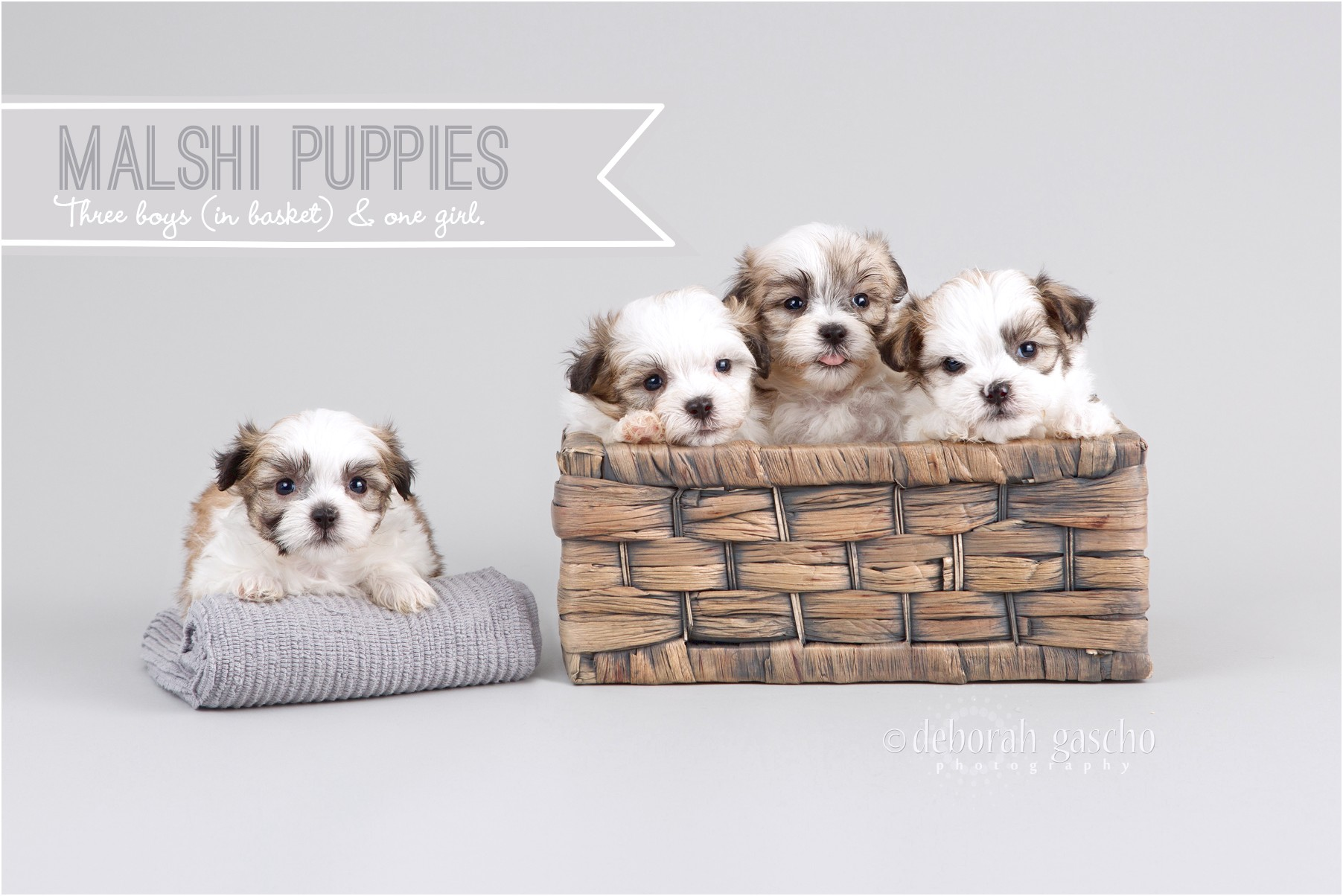 maltese dogs for sale kitchener
