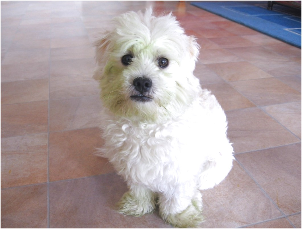 maltese dogs for sale queensland