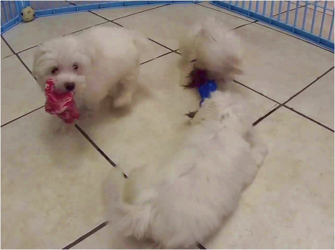 maltese dogs for sale tn
