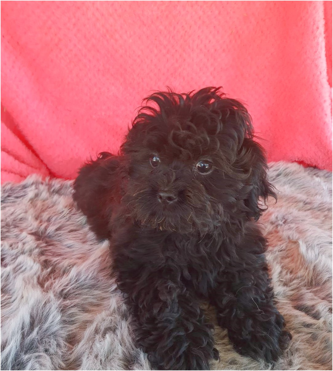 maltese dogs for sale toowoomba