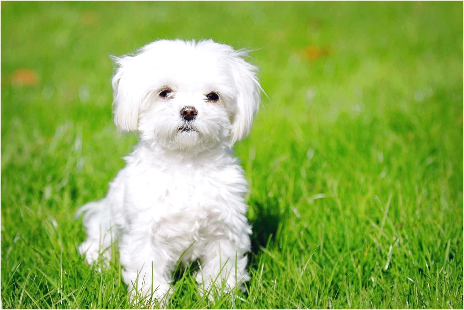 maltese dogs for sale vic