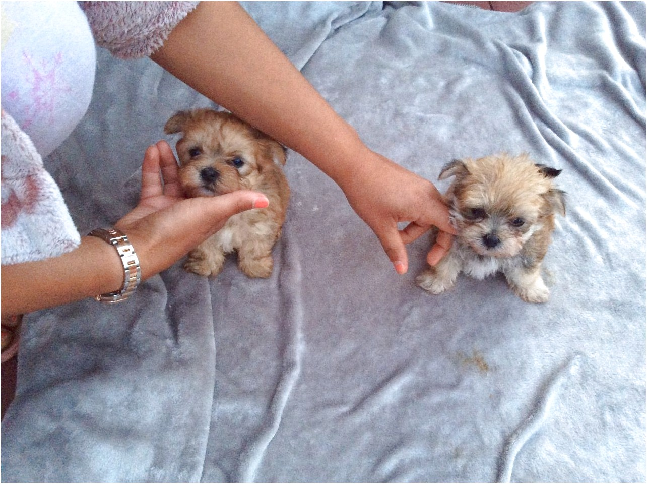 maltese dogs for sale yorkshire