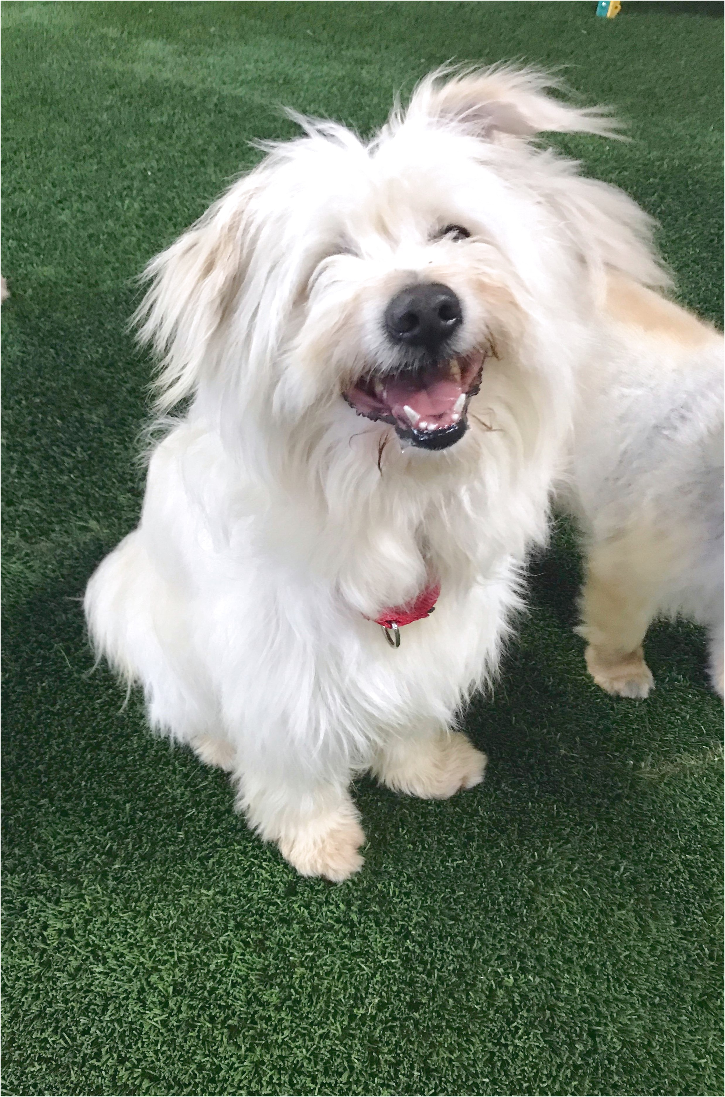 maltese for adoption in dallas