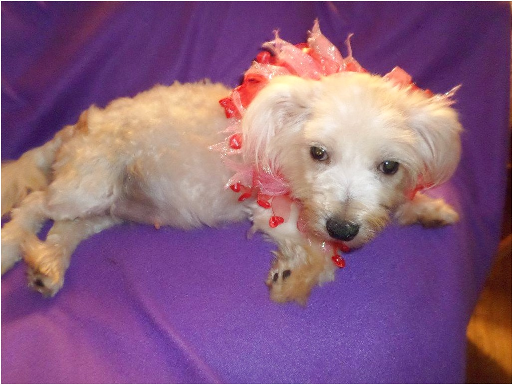 maltese for adoption in tennessee