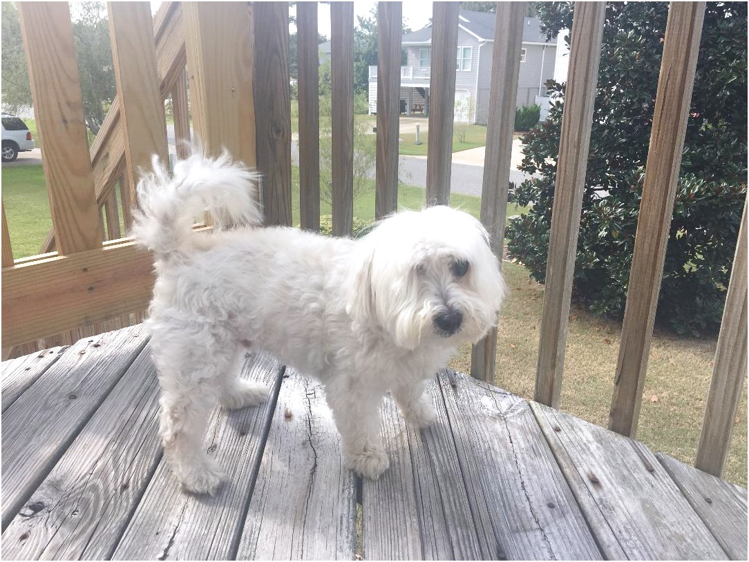 maltese for adoption nc