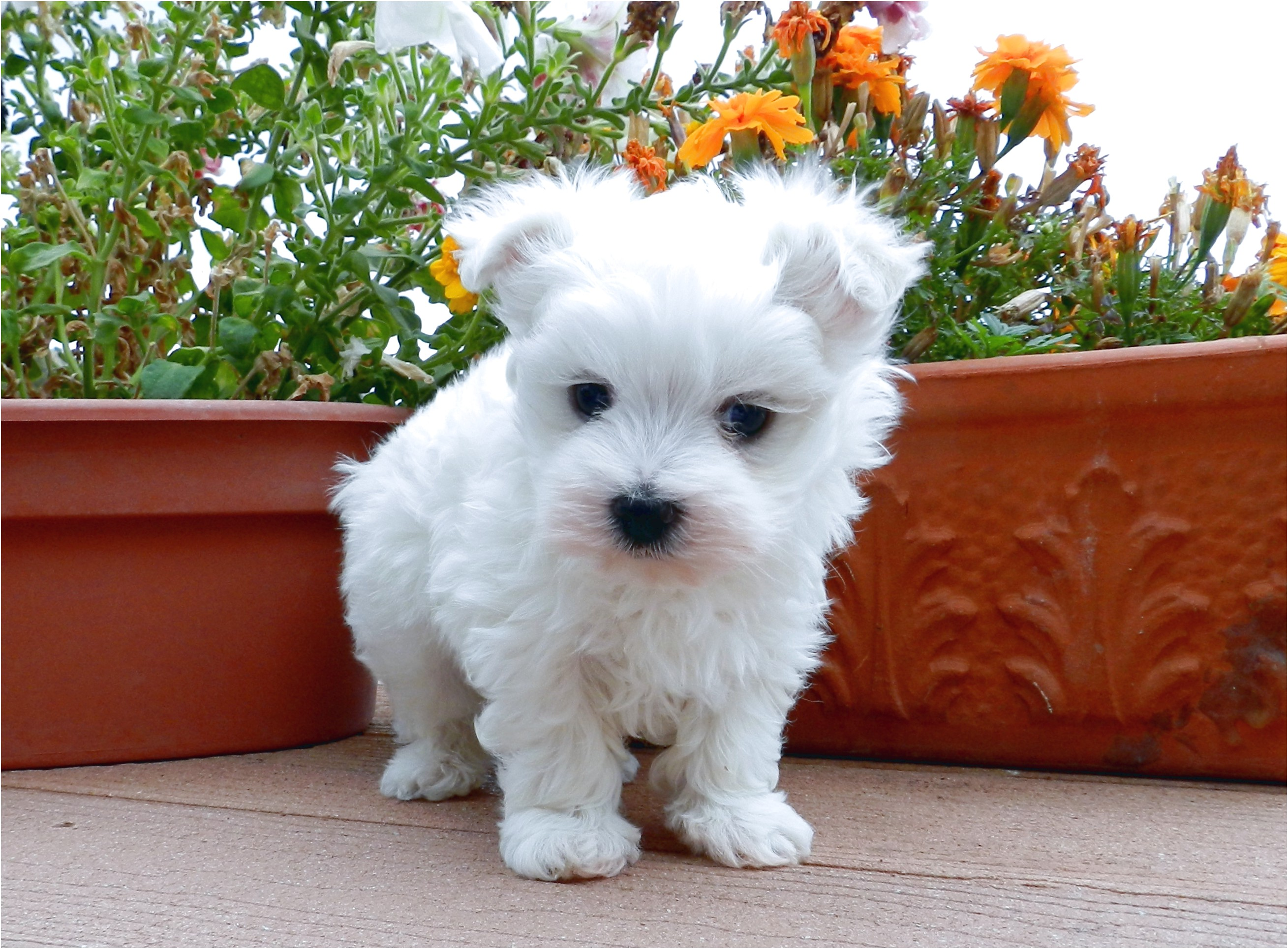 maltese for sale or adoption