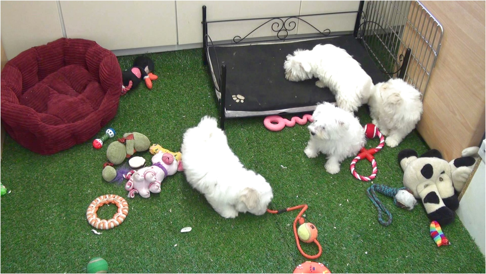 maltese pup for sale uk