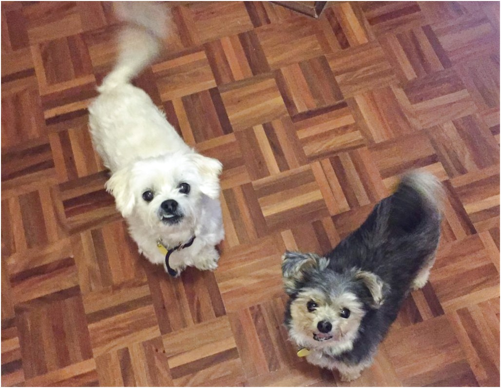 maltese puppies for adoption qld