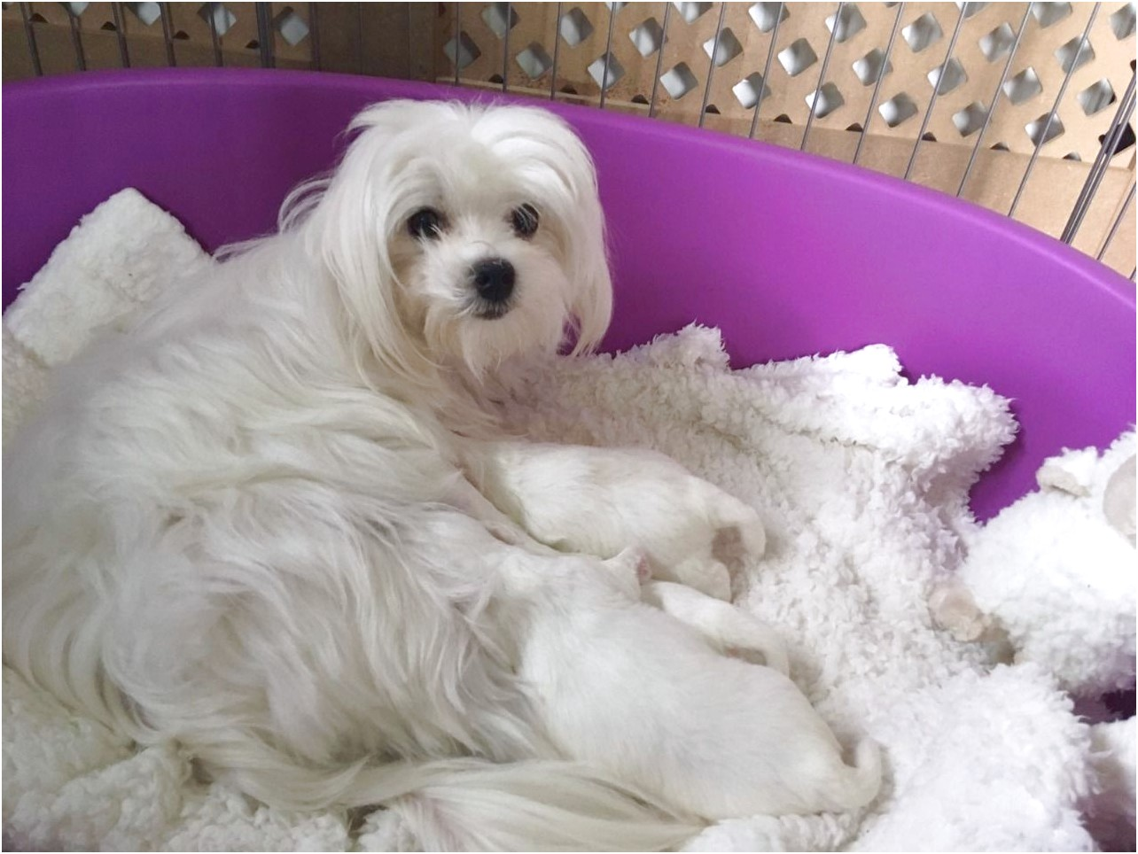 maltese puppies for adoption uk