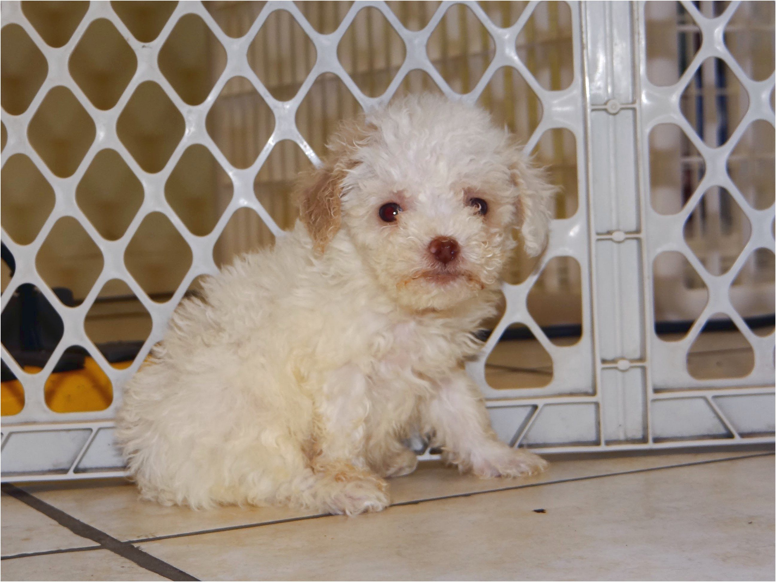 maltese puppies for free in houston tx