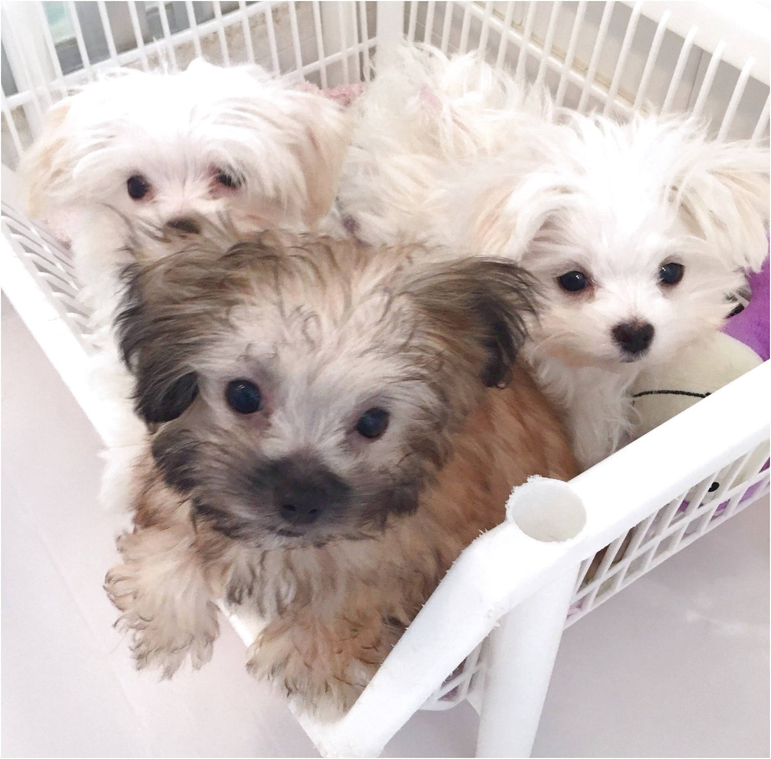 maltese puppies for free in nc