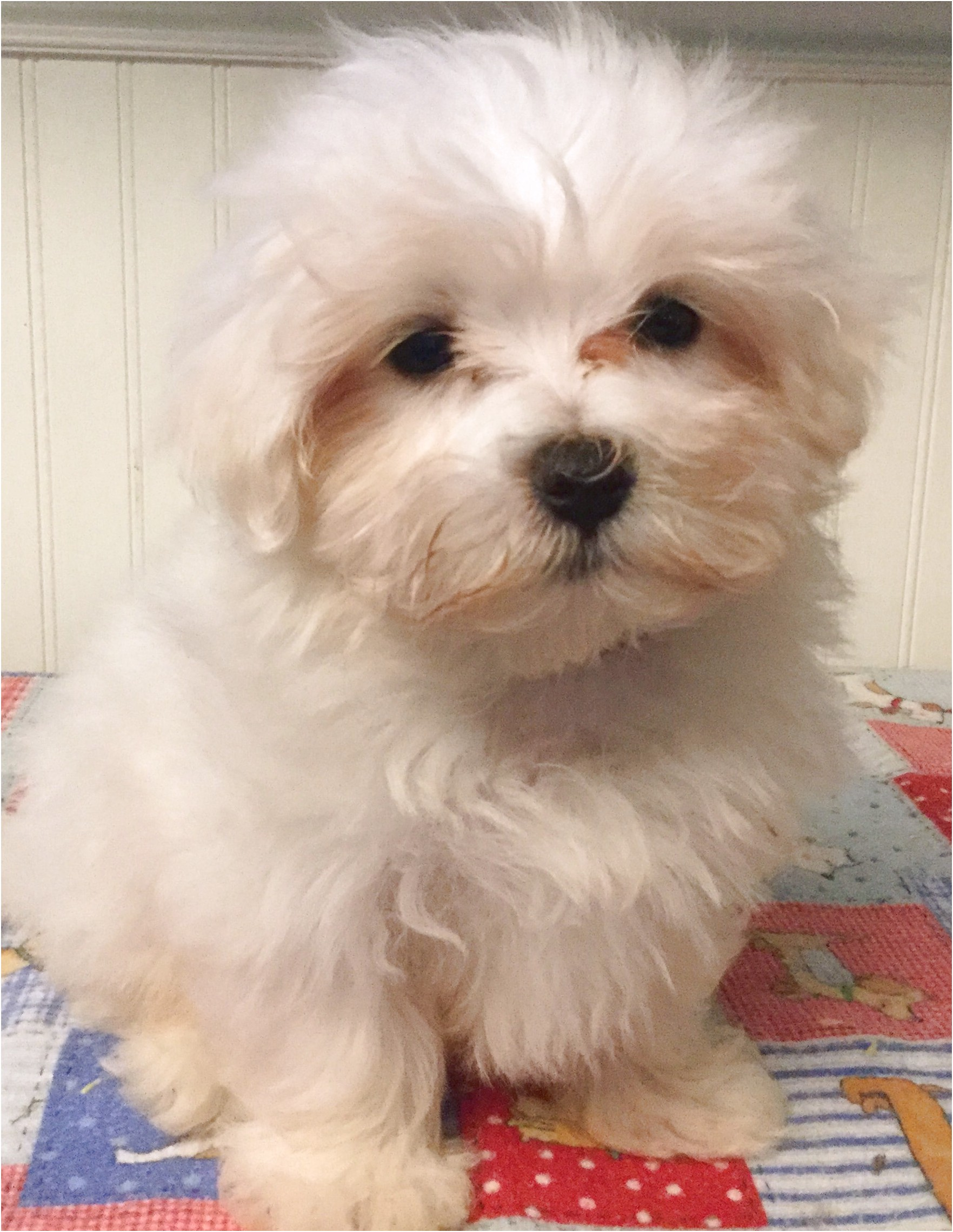 maltese puppies for sale 100
