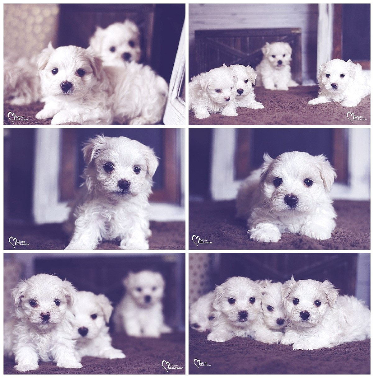 maltese puppies for sale 2017