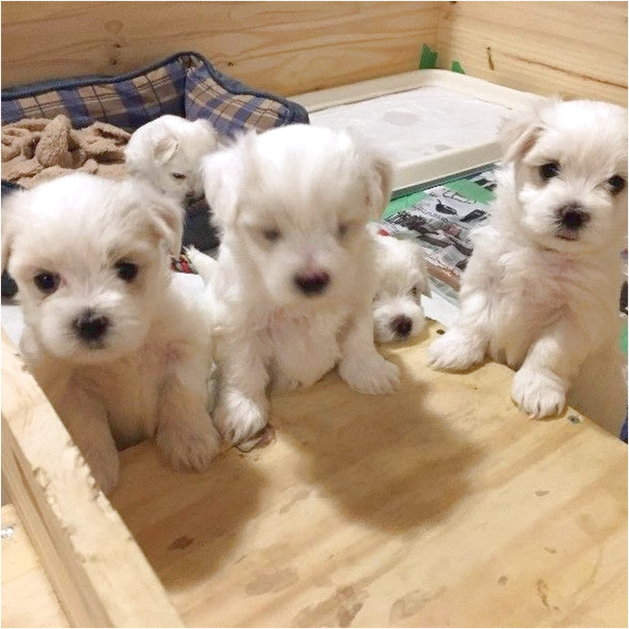 maltese puppies for sale 2018