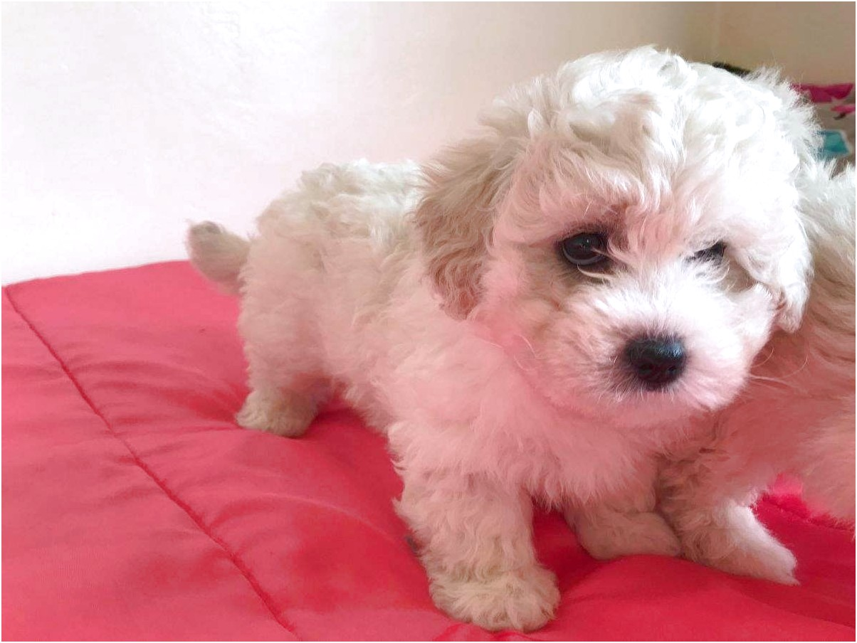 maltese puppies for sale 500