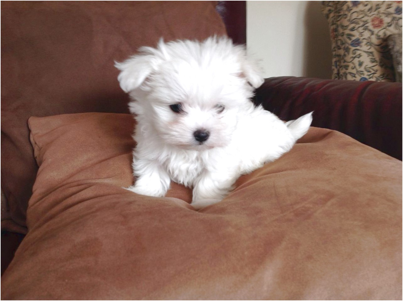 maltese puppies for sale 90815