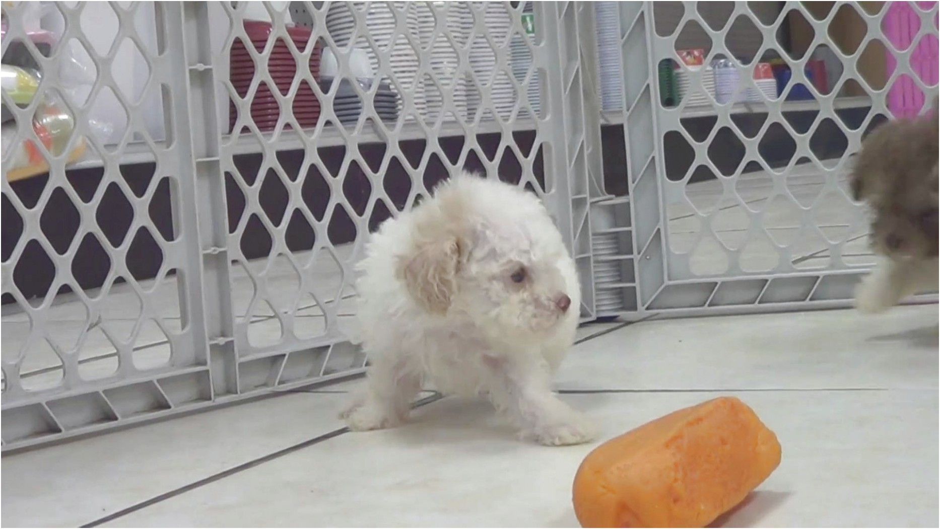maltese puppies for sale alabama