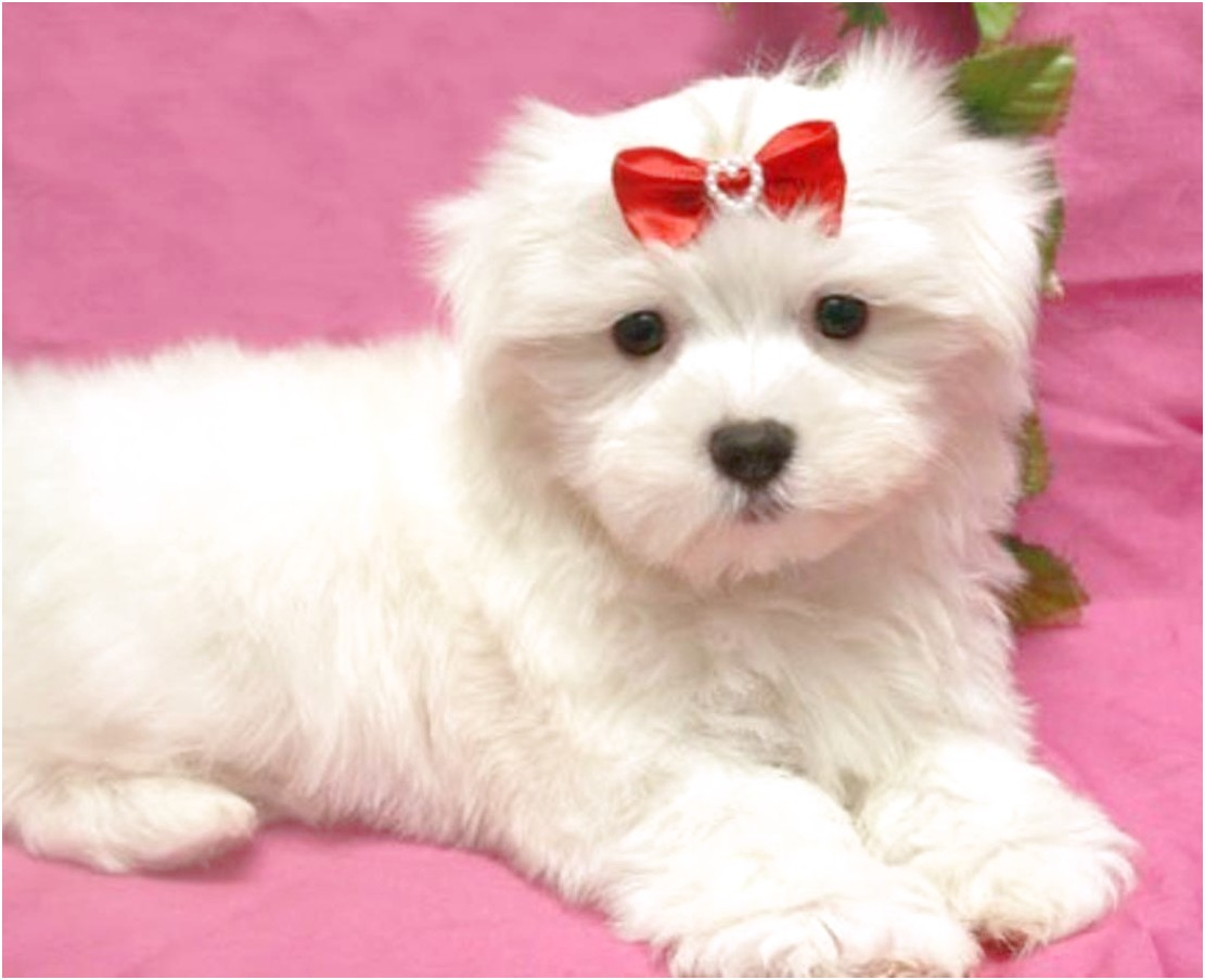maltese puppies for sale arkansas