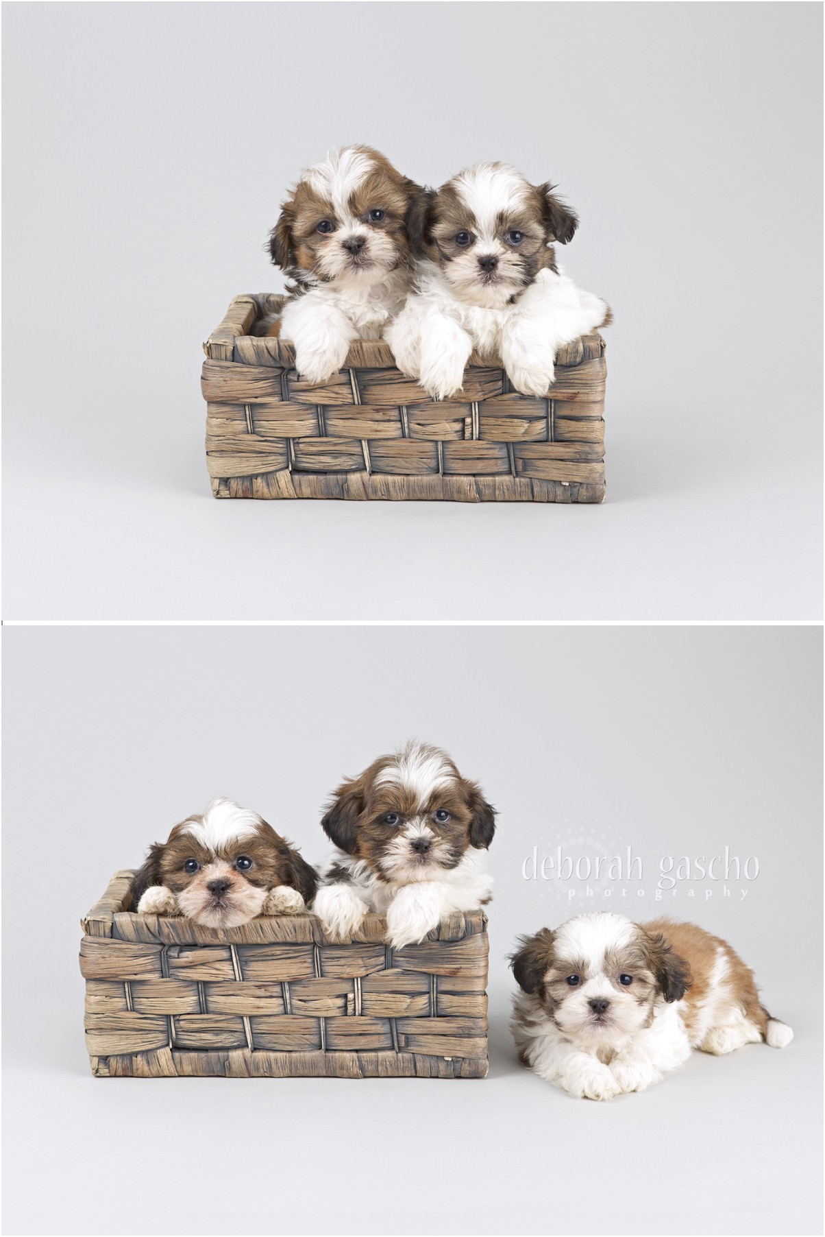 maltese puppies for sale barrie
