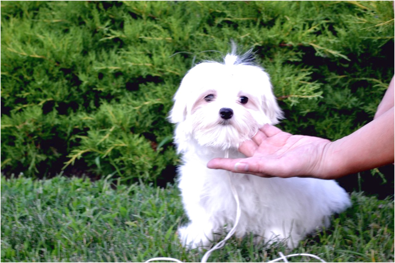 maltese puppies for sale bc