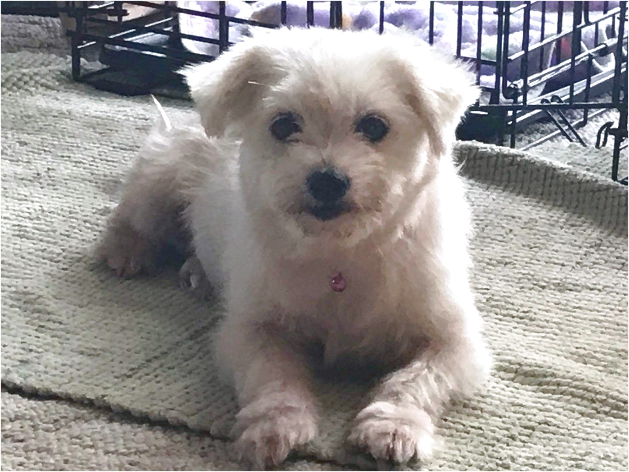 maltese puppies for sale buffalo ny