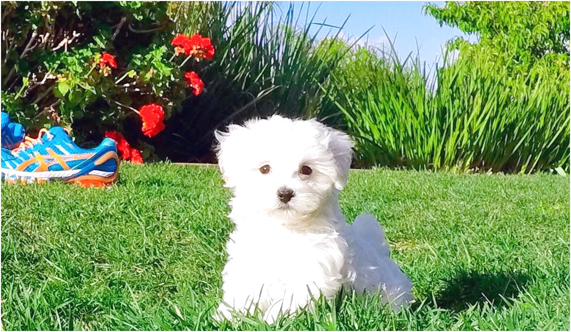 maltese puppies for sale california