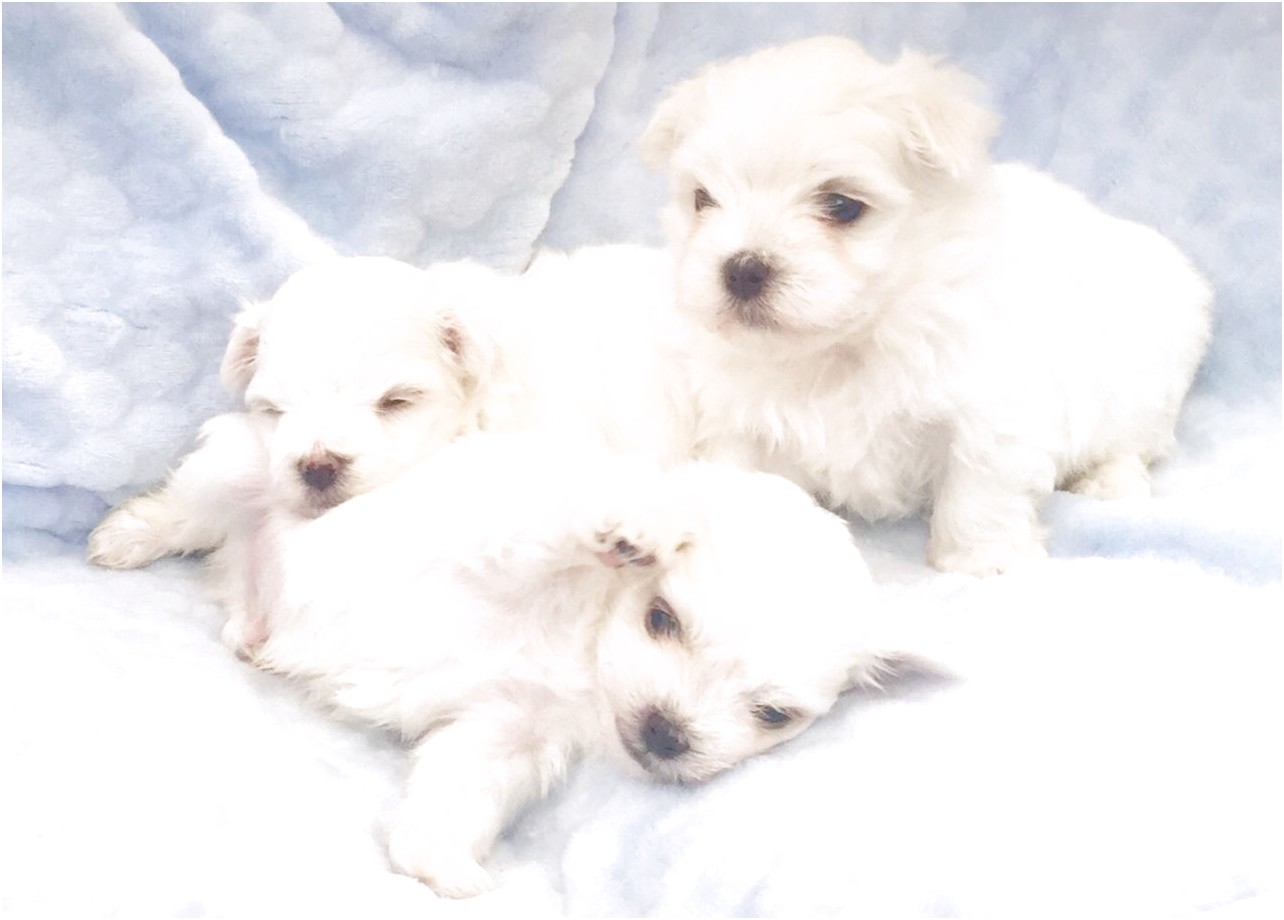 maltese puppies for sale chicago