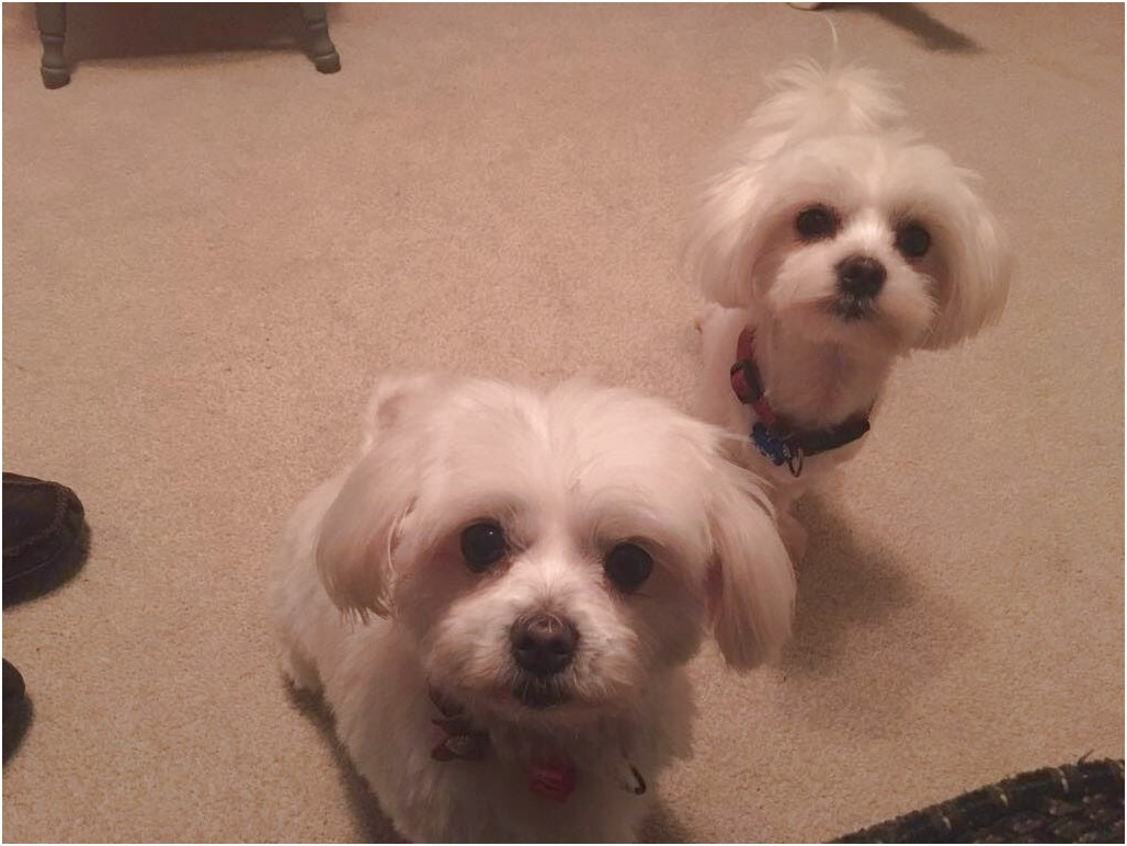 maltese puppies for sale dorset