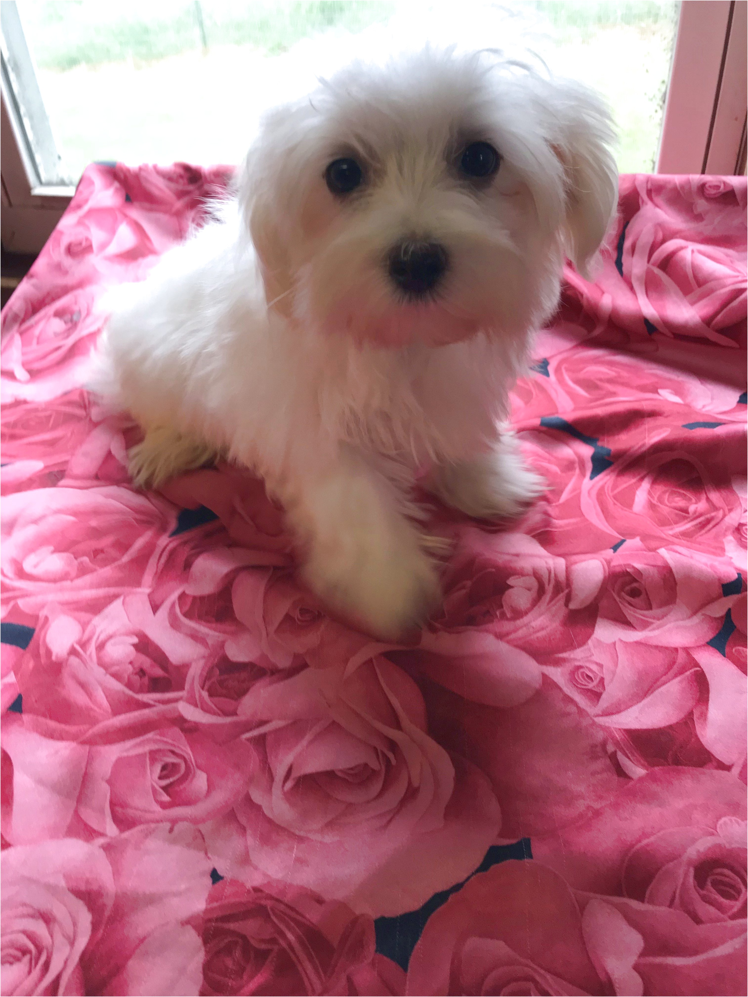 maltese puppies for sale east texas