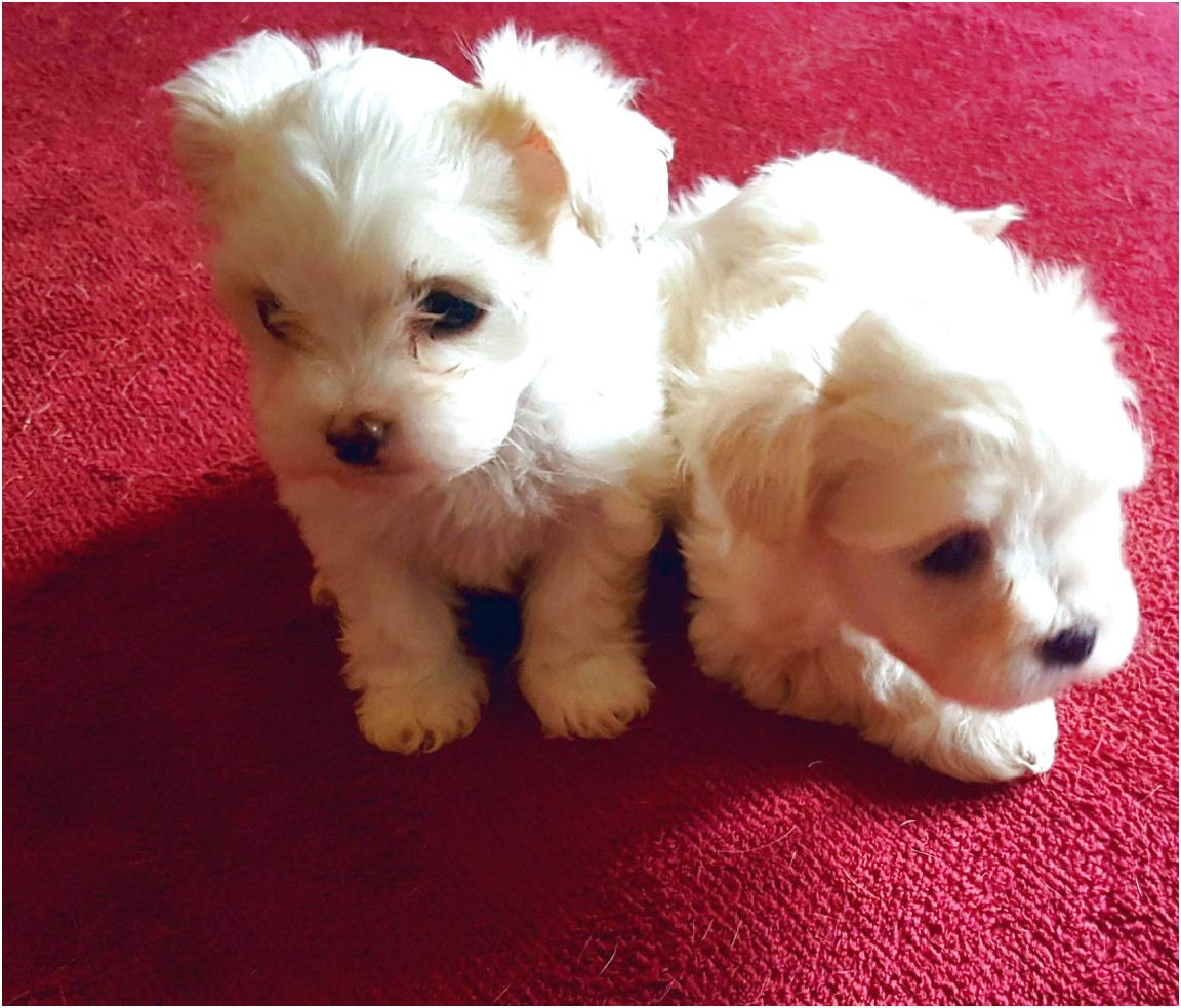 maltese puppies for sale eastern cape