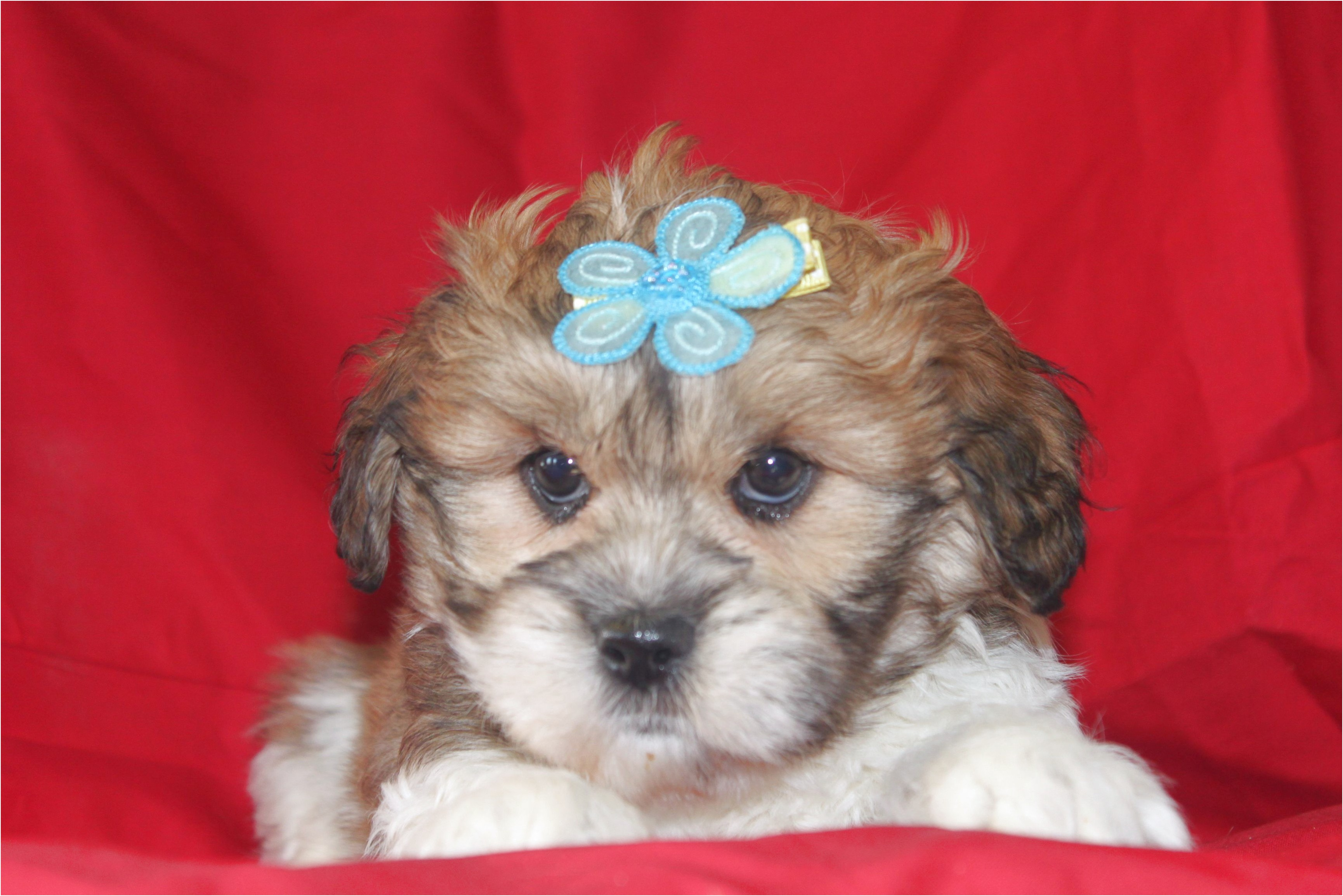 maltese puppies for sale fargo nd