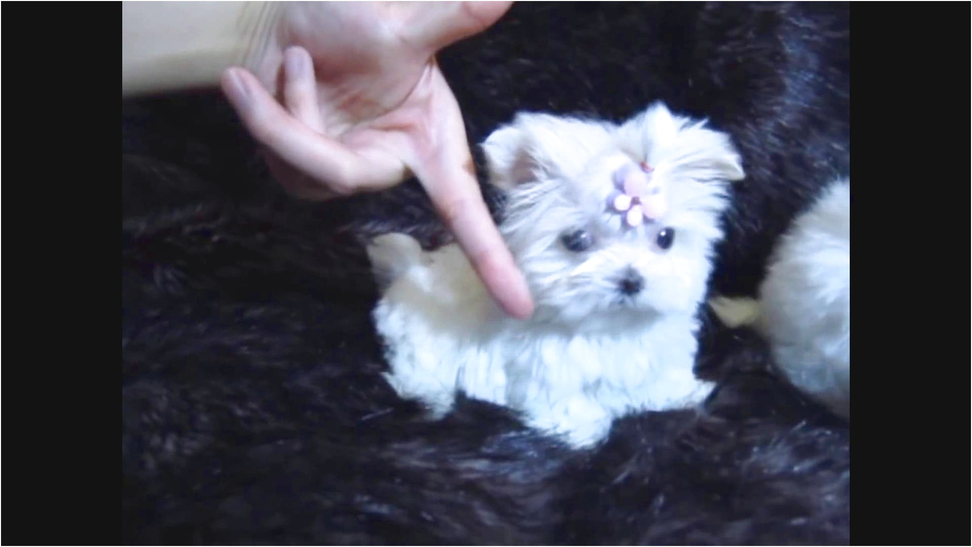 maltese puppies for sale female