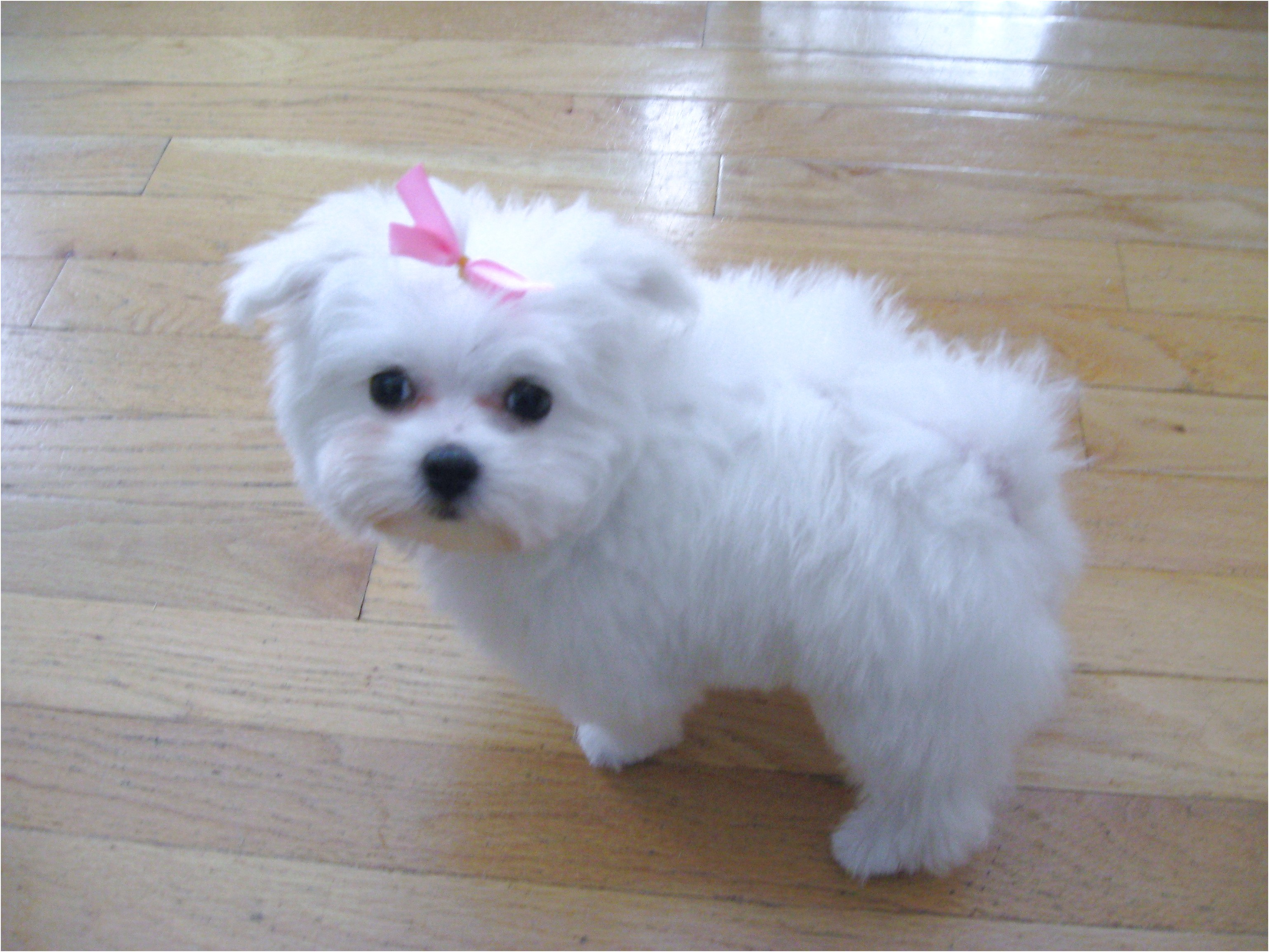 maltese puppies for sale for free