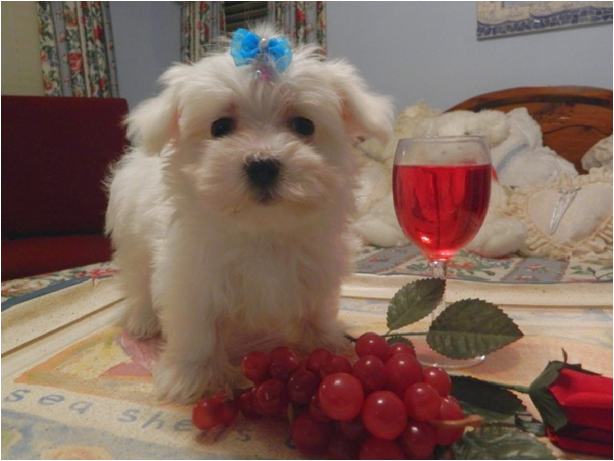 maltese puppies for sale free ads
