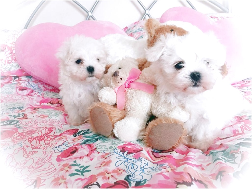 maltese puppies for sale gloucestershire