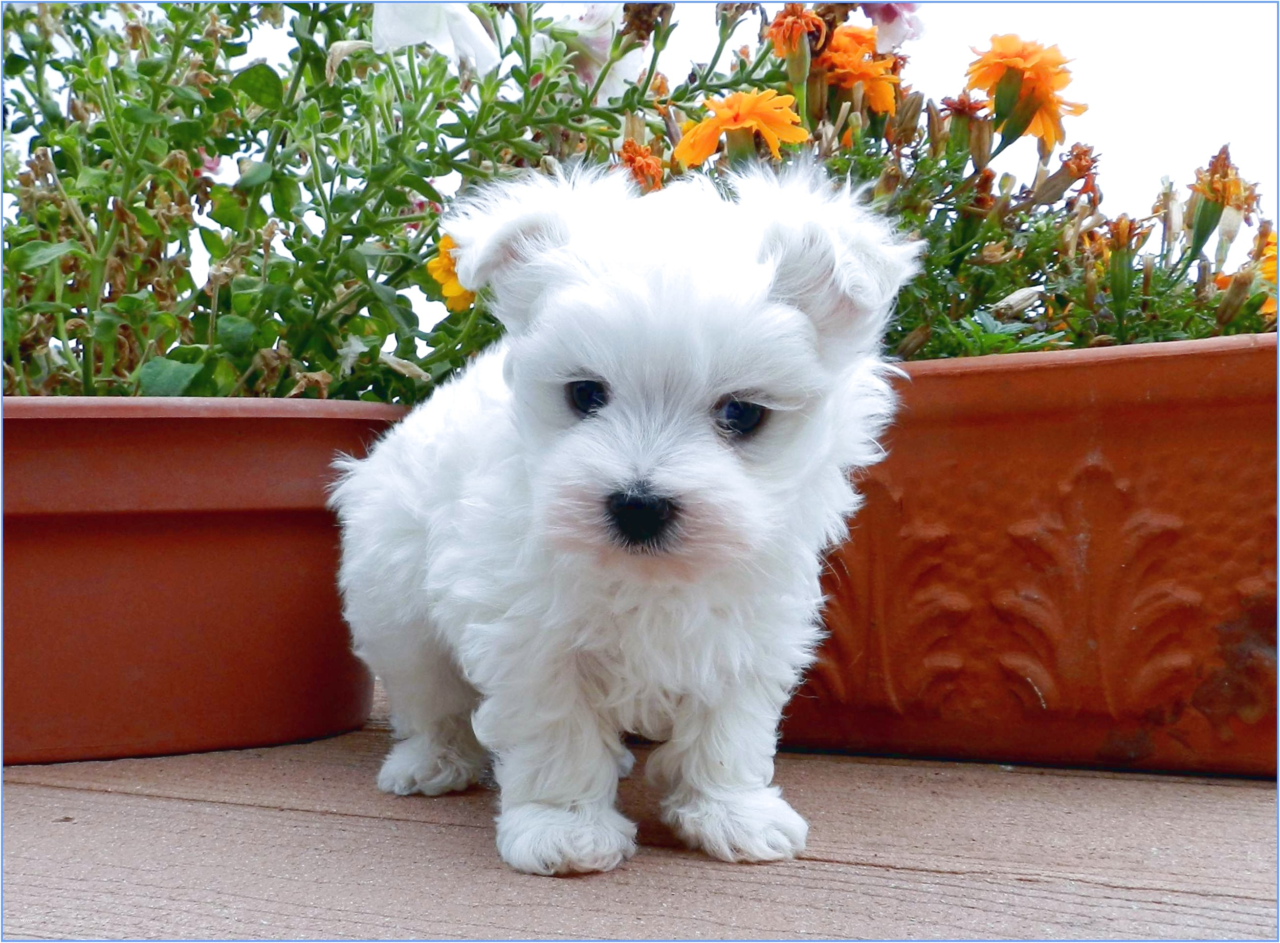 maltese puppies for sale gold coast