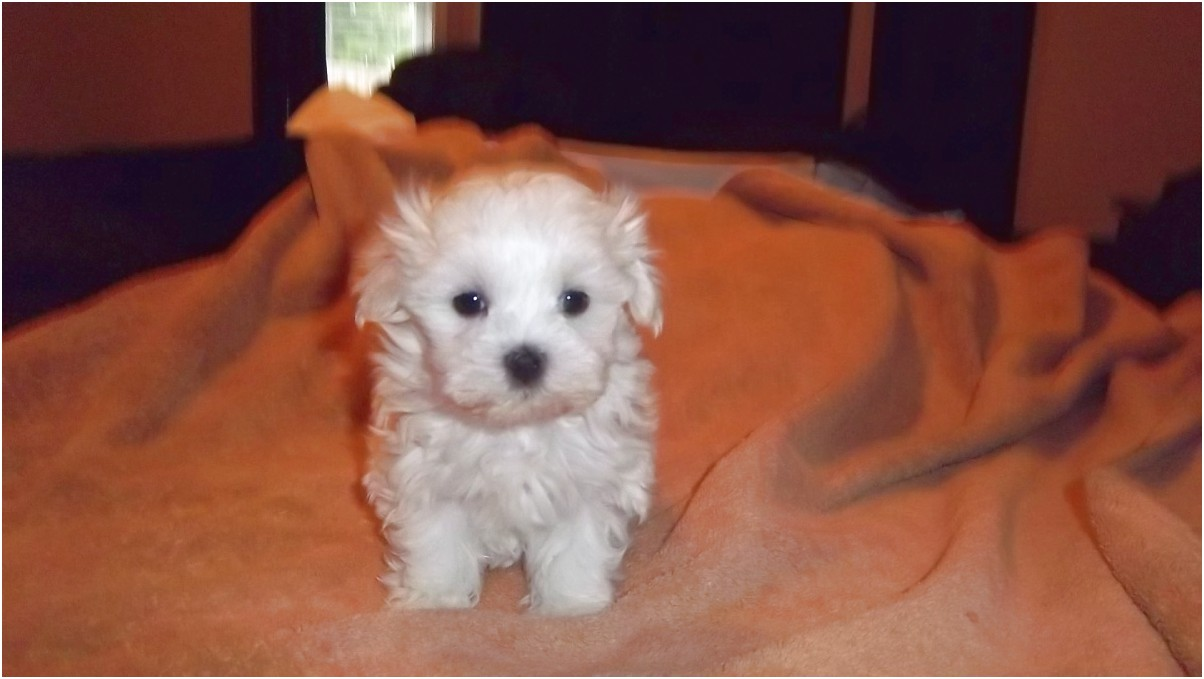 maltese puppies for sale greenville sc