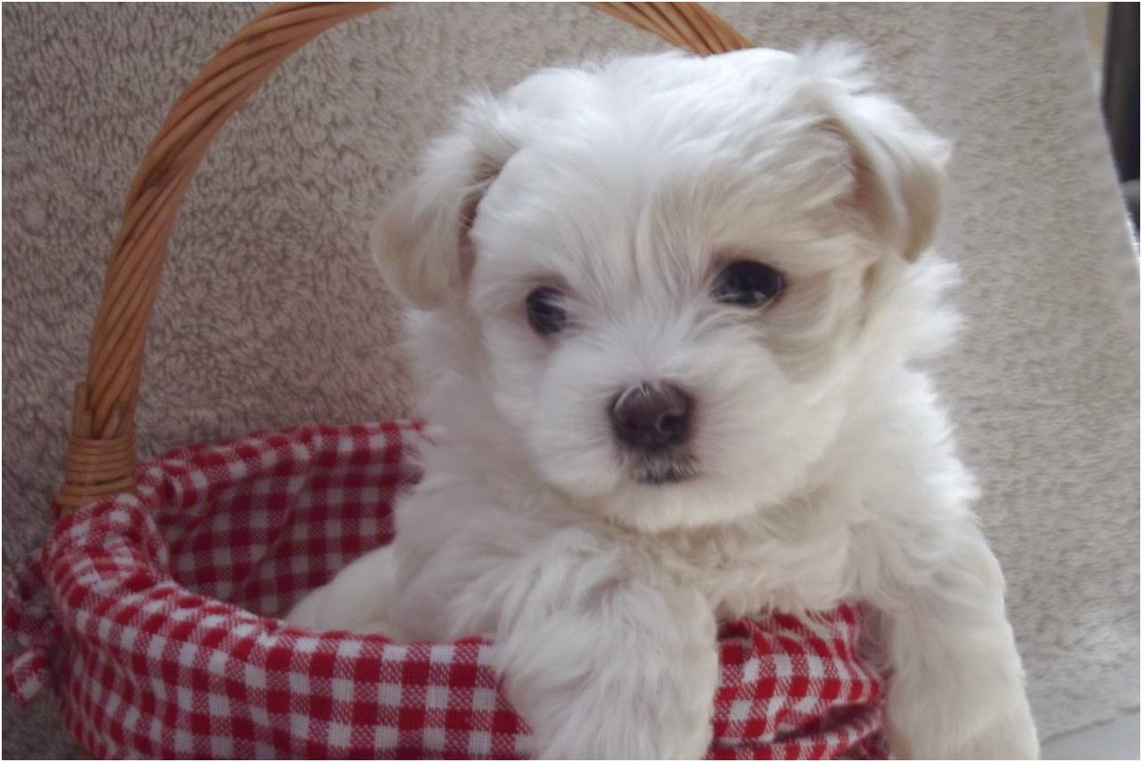 maltese puppies for sale hampshire