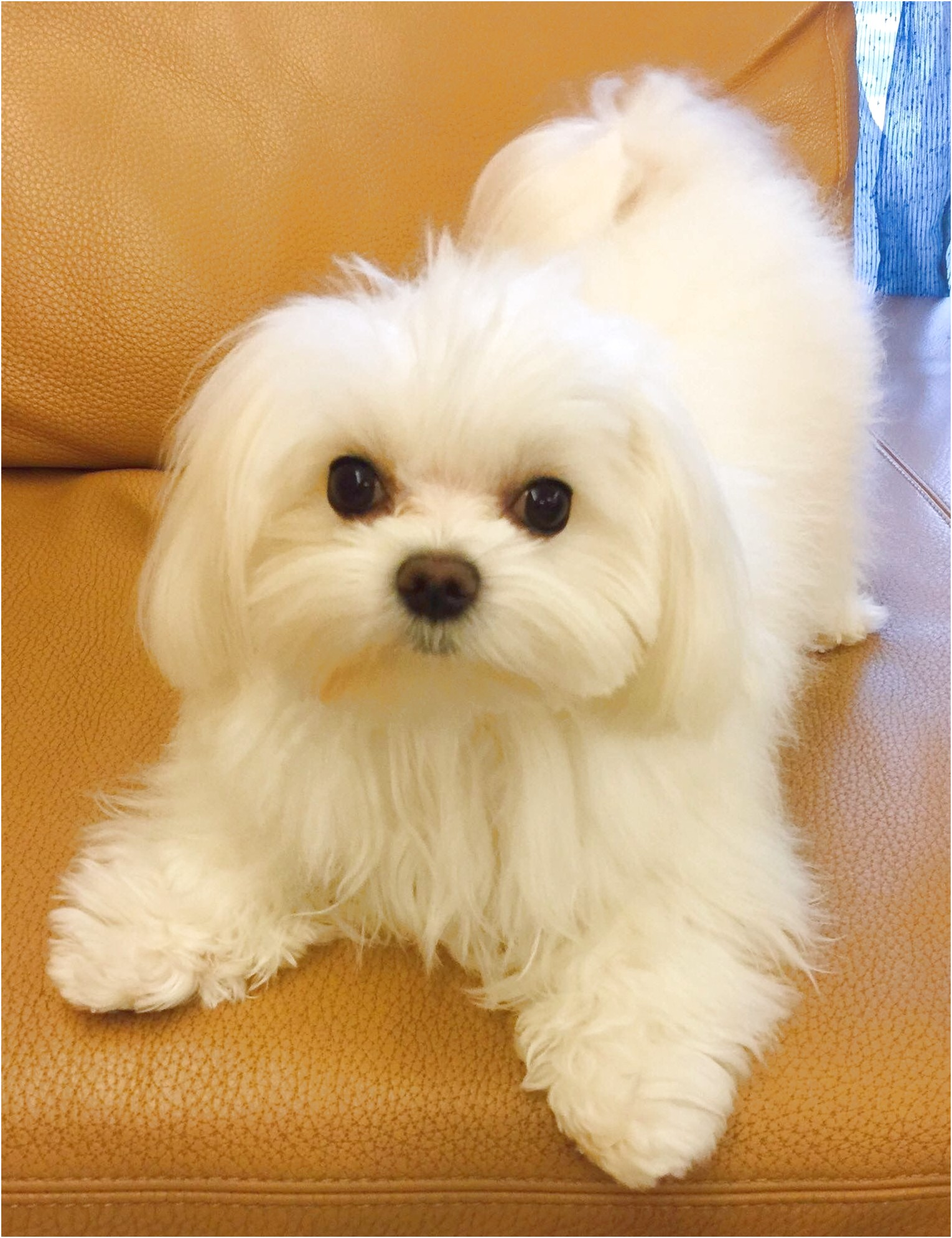 maltese puppies for sale hawaii